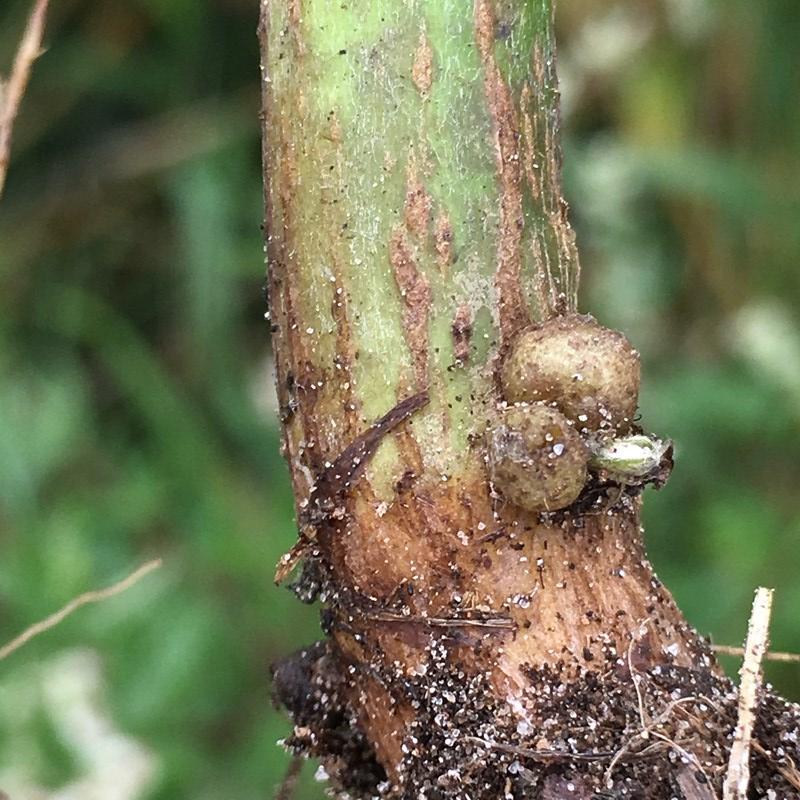 Rhopalomyia baccarum
