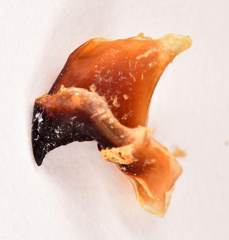 Loligoblæksprutte (Loligo forbesi)