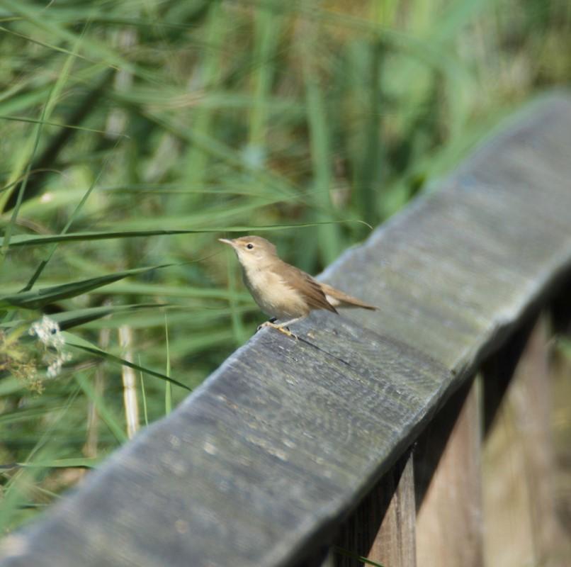 Foto/billede af Sanger ubest. (Sylvidae indet.)