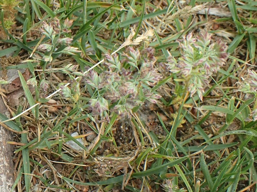 Poa pratensis ssp. irrigata var. irrigata