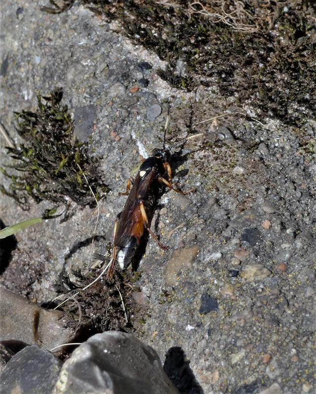 Foto/billede af Ichneumon sp. (Ichneumon sp.)