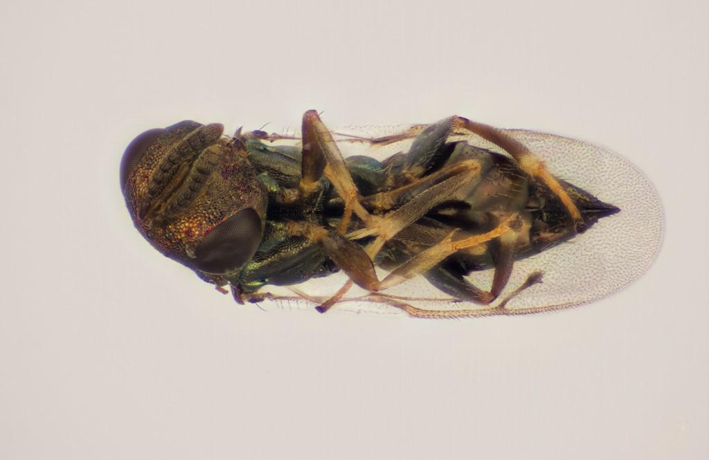 Mesopolobus tibialis