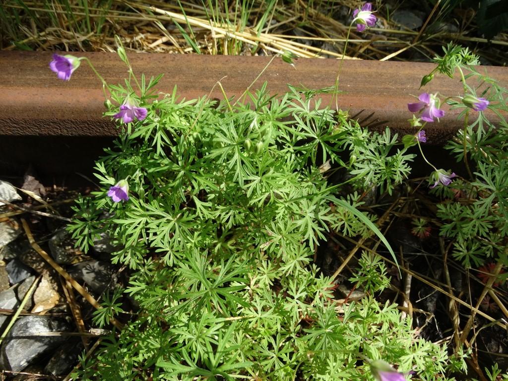 Foto/billede af Storbægret Storkenæb (Geranium columbinum)