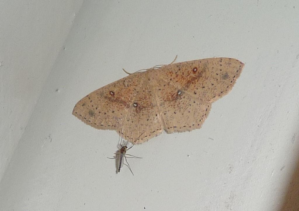 Foto/billede af Grumset Egeringmåler (Cyclophora porata)