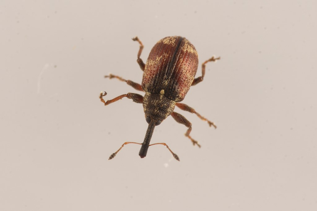 Anthonomus sorbi (Anthonomus sorbi)