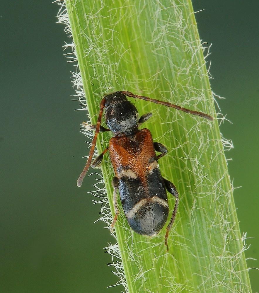 Prydskivebuk (Phymatodes alni)