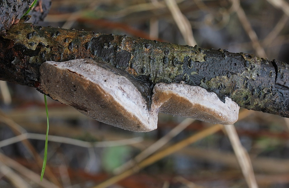Foto/billede af Almindelig Ildporesvamp (Phellinus igniarius)