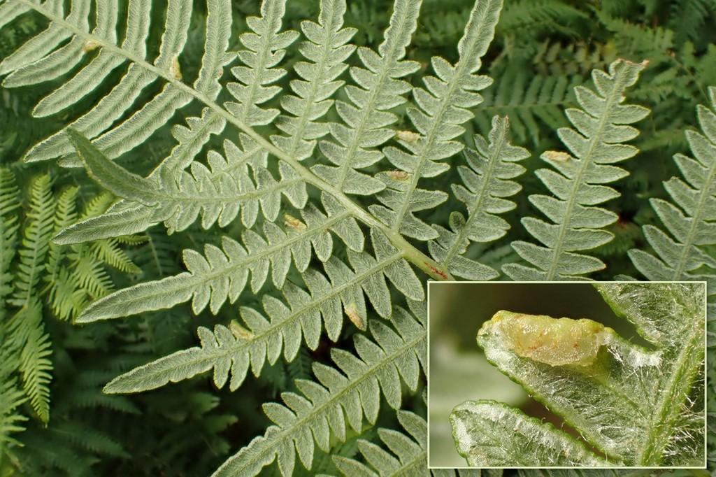 Dasineura pteridicola