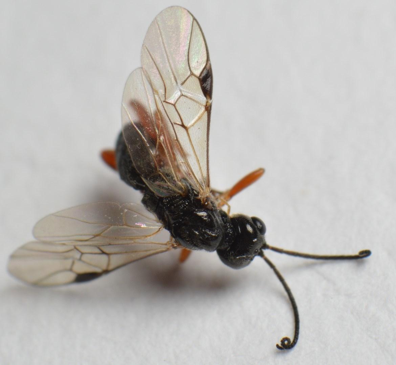 Eubazus nigroventralis