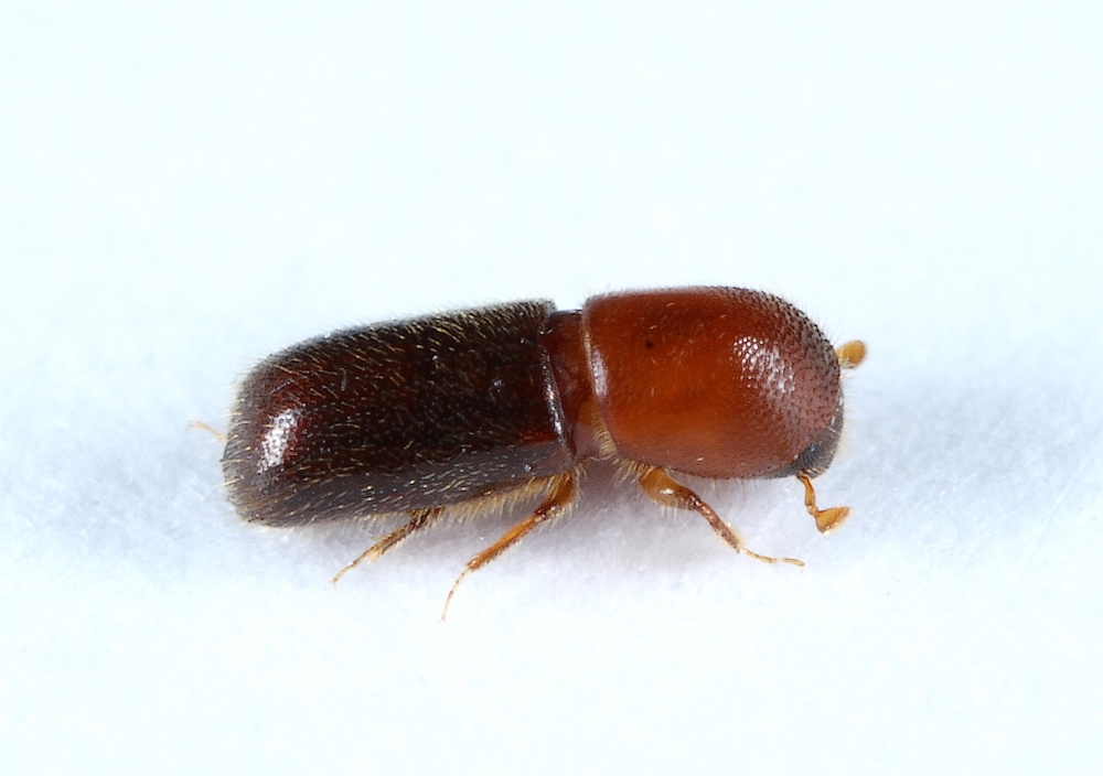 Xyleborus bodoanus