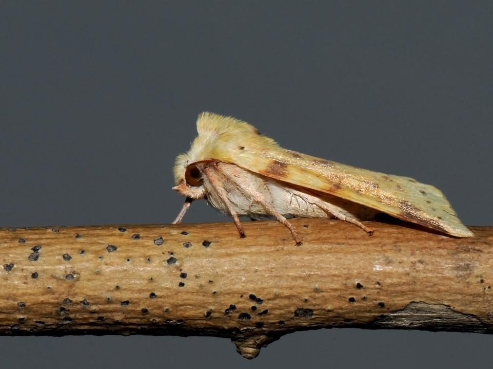 Foto/billede af Brombær-Guldugle (Cirrhia icteritia)