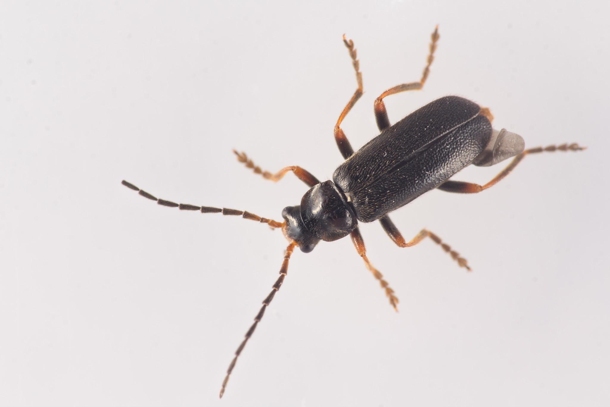 Cantharis flavilabris (Cantharis flavilabris)