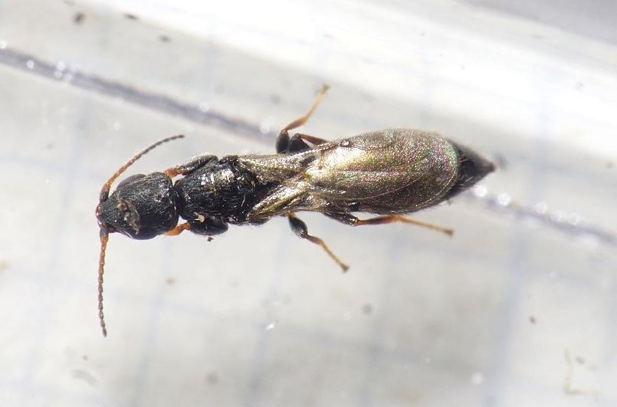 Bethylidae sp.