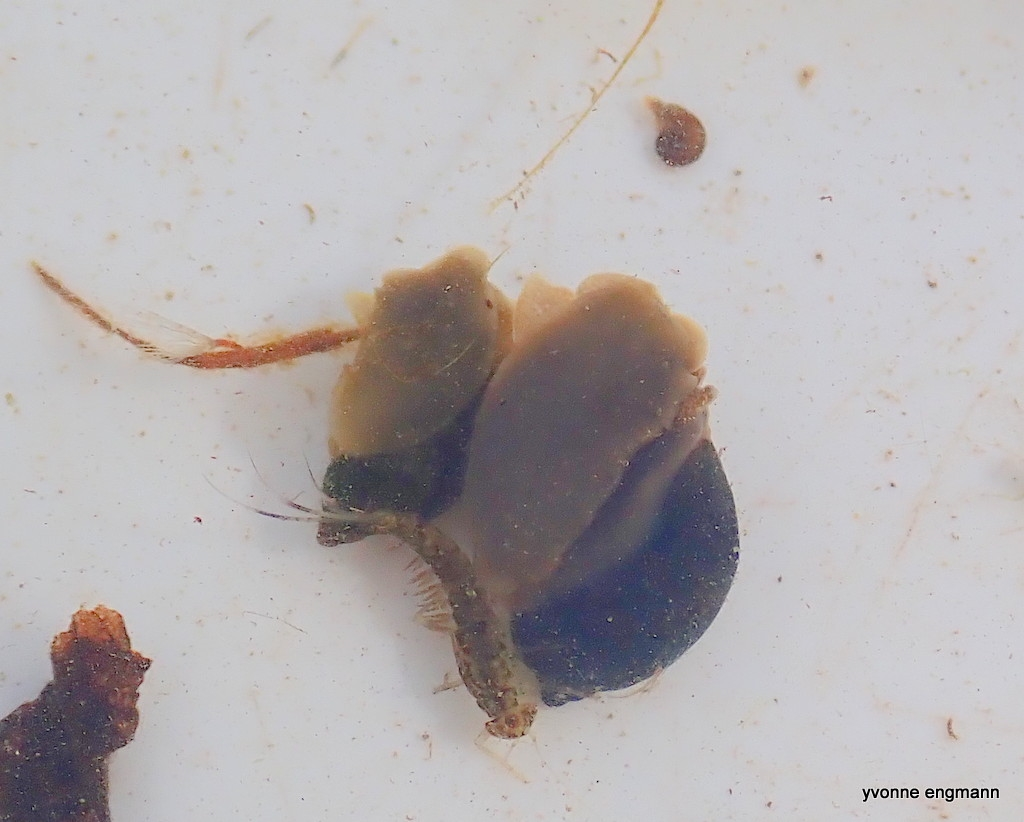 Stor Sumpsnegl (Viviparus contectus)