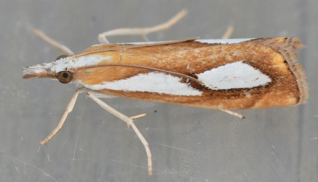 Foto/billede af Catoptria pinella (Catoptria pinella)