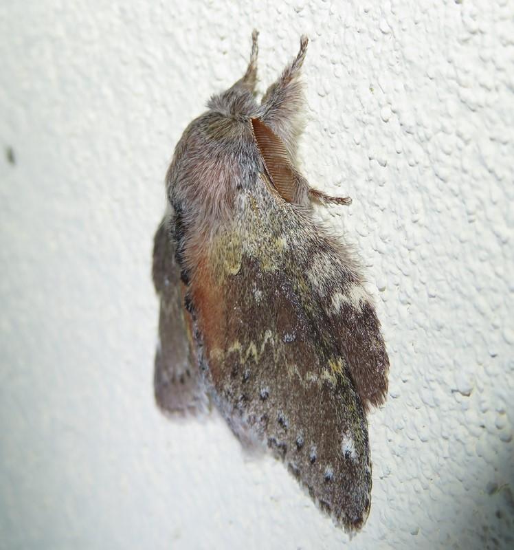 Foto/billede af Bøgespinder (Stauropus fagi)
