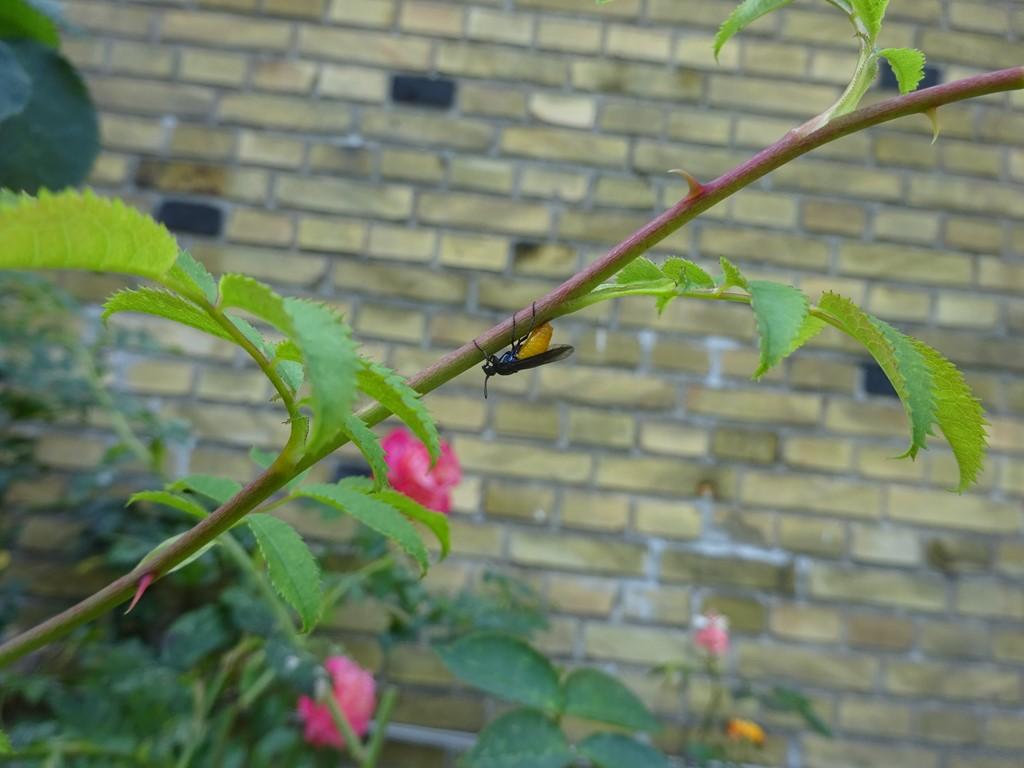 Foto/billede af Stor Blodbi (Sphecodes albilabris)
