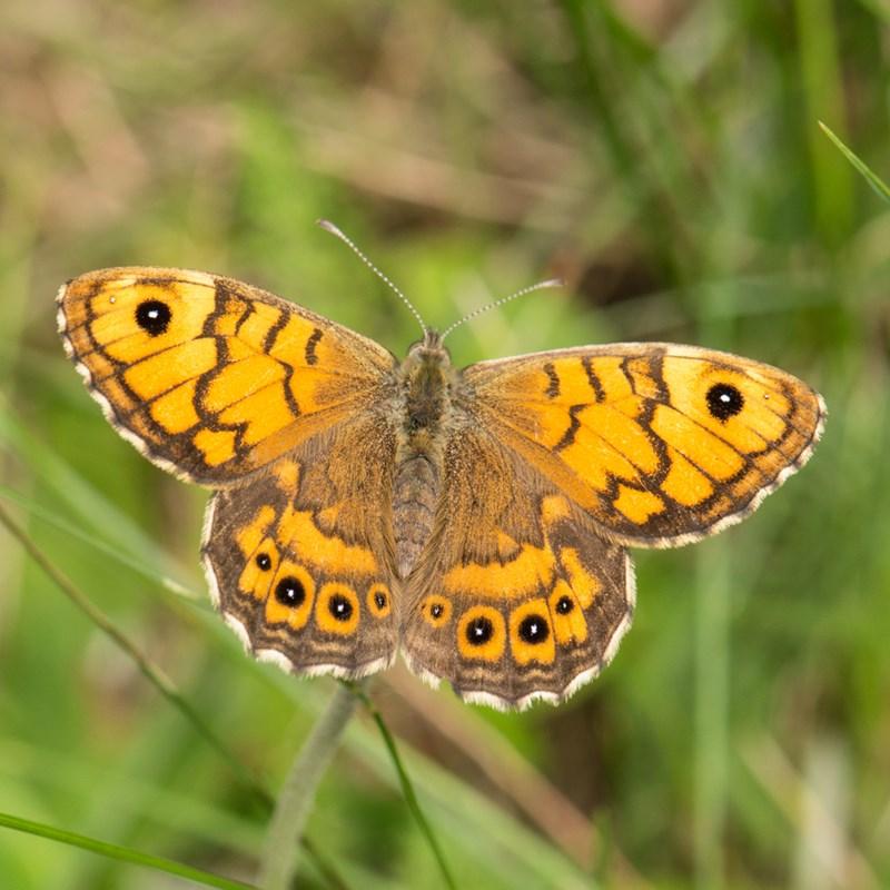 Foto/billede af Vejrandøje (Lasiommata megera)