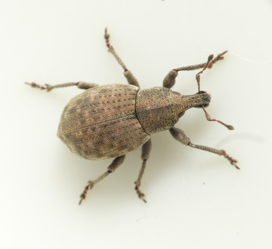 Tropiphorus terricola (Tropiphorus terricola)