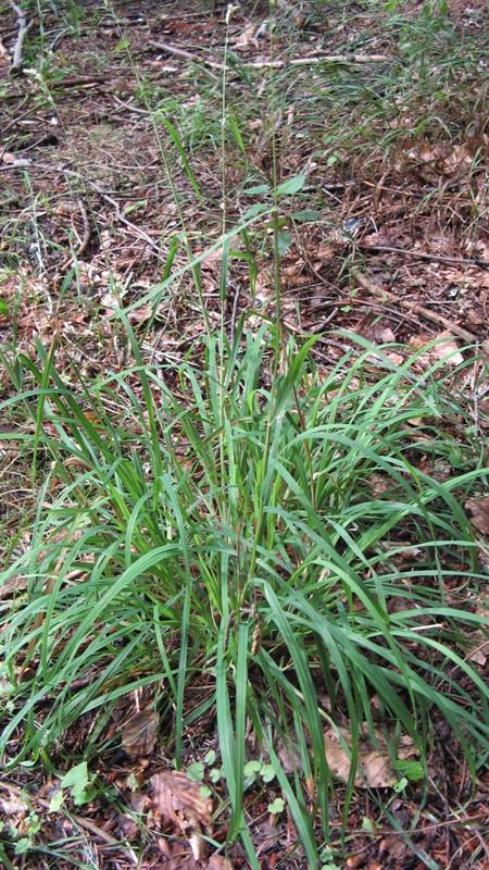 Foto/billede af Skov-Hundegræs (Dactylis glomerata ssp. lobata)