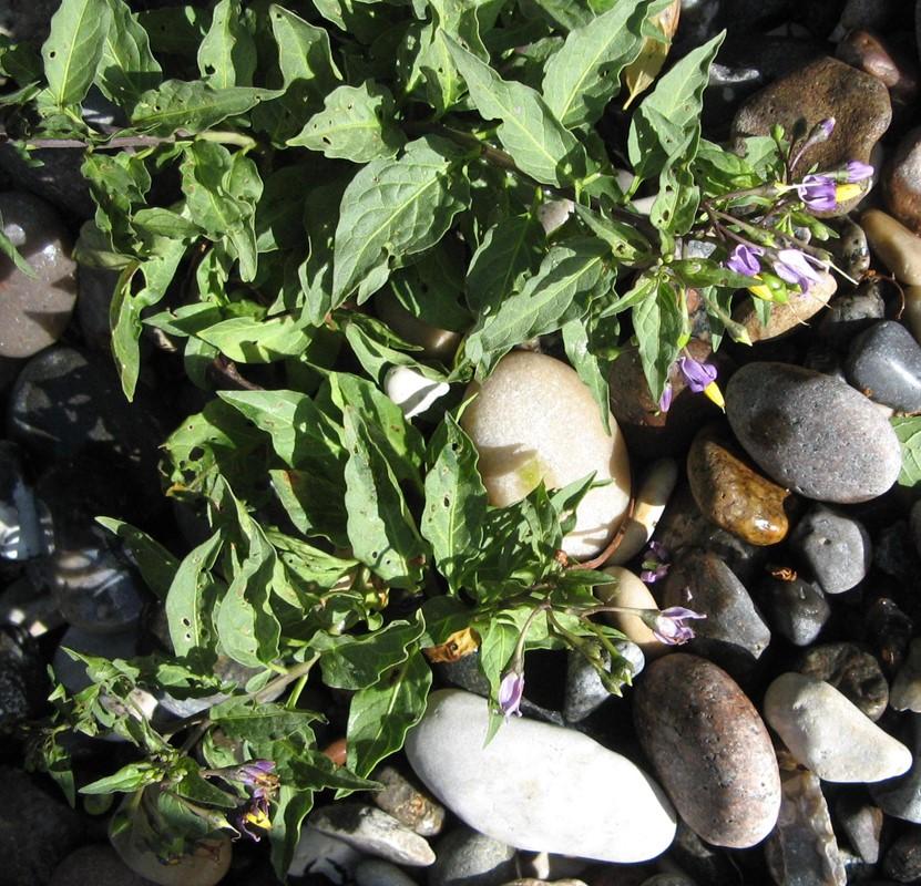 Foto/billede af Strand-Natskygge (Solanum dulcamara var. marinum)