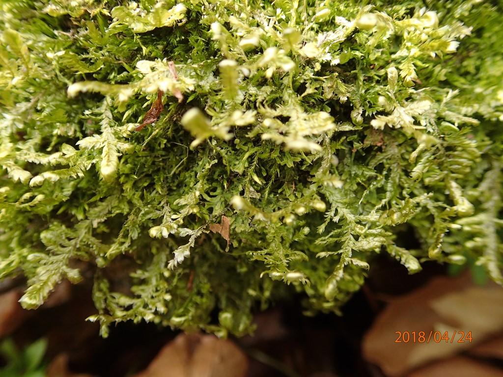 Foto/billede af Almindelig Fladmos (Neckera complanata)