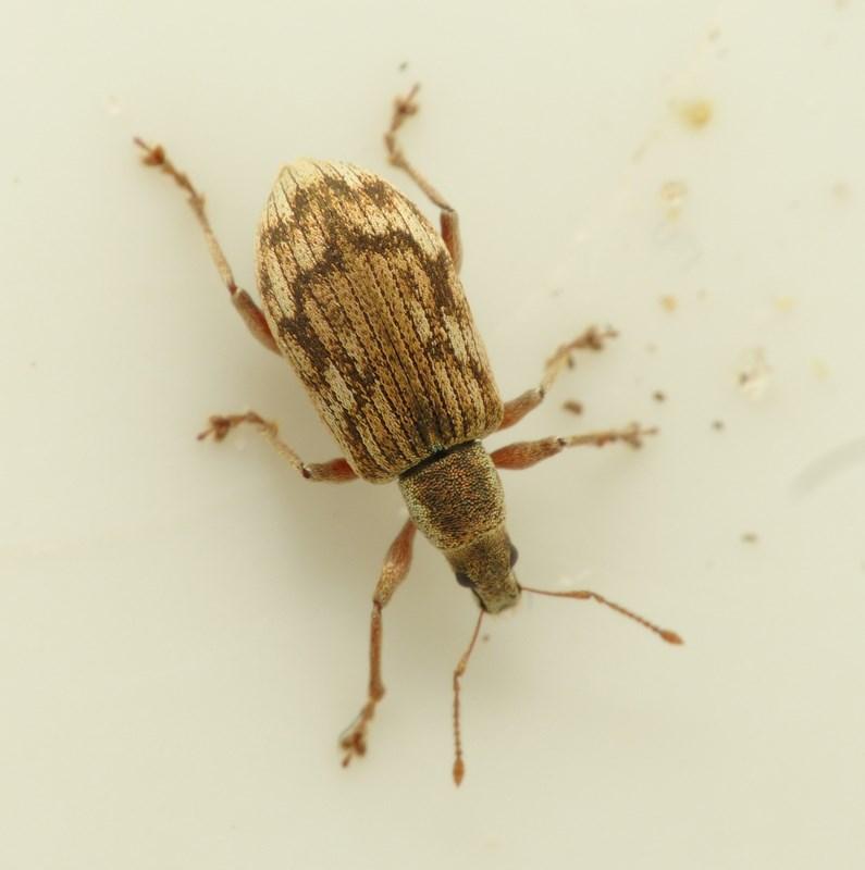 Polydrusus tereticollis
