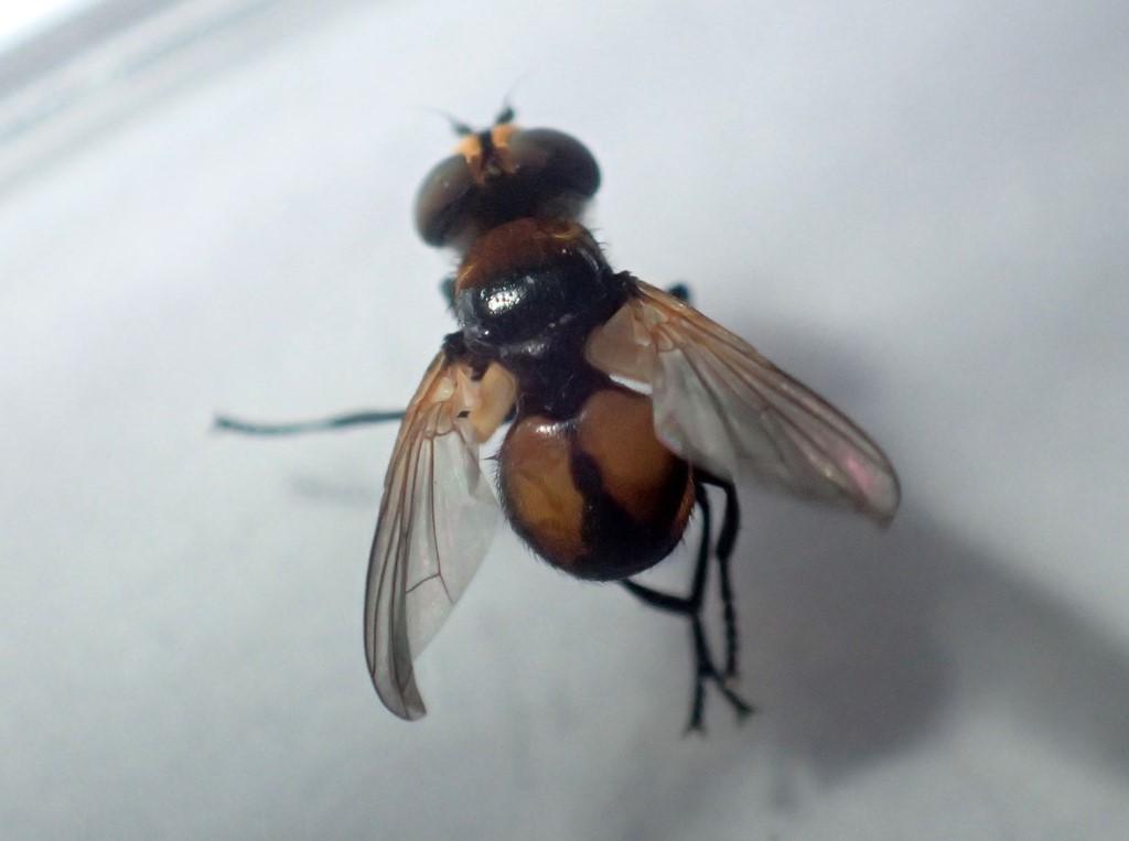 Cistogaster globosa (Cistogaster globosa)