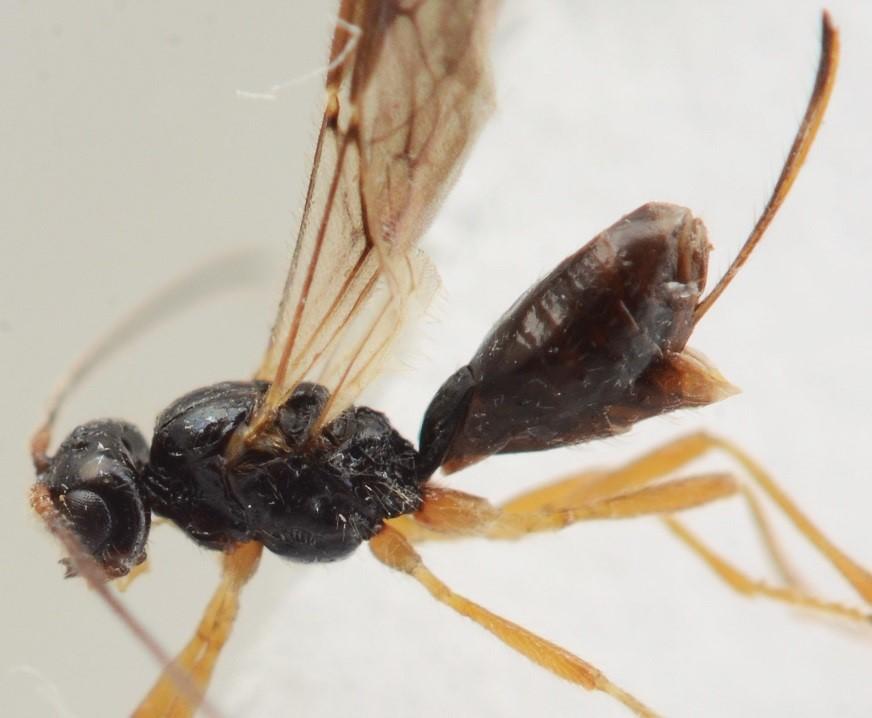 Phaenocarpa conspurcator