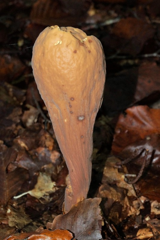Herkules-Kæmpekølle (Clavariadelphus pistillaris)