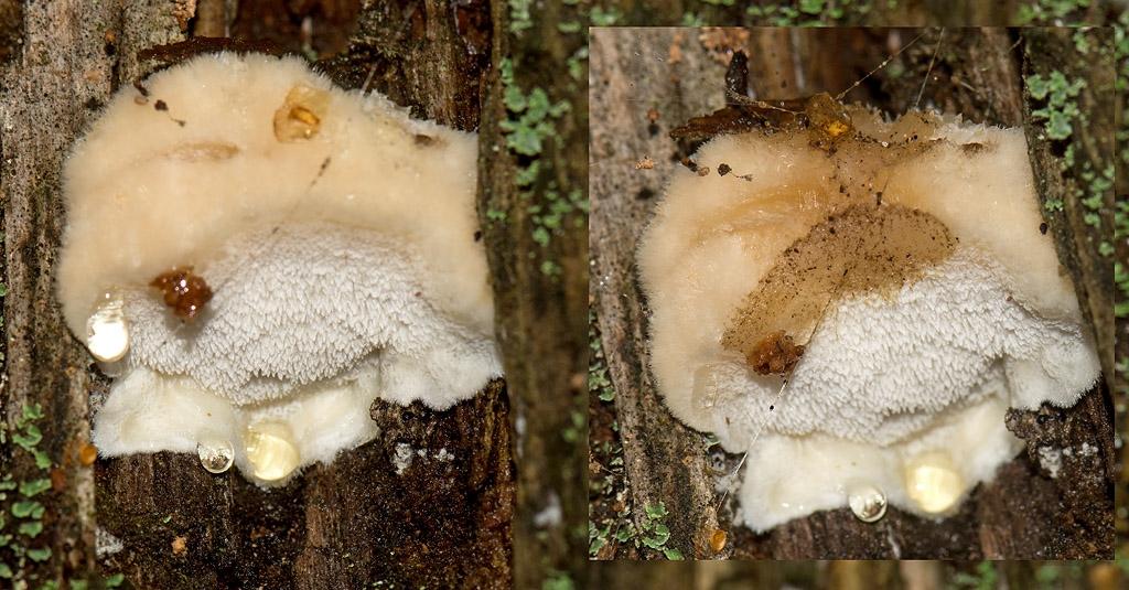 Foto/billede af Brunende Kødporesvamp (Fuscopostia fragilis)