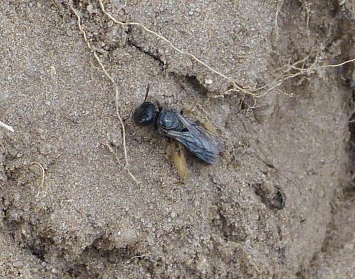 Foto/billede af Stor Strithårsbi (Panurgus banksianus)