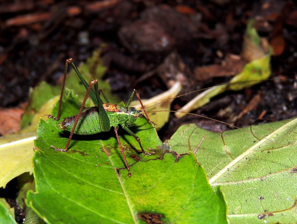 Krumknivgræshoppe (Leptophyes punctatissima)