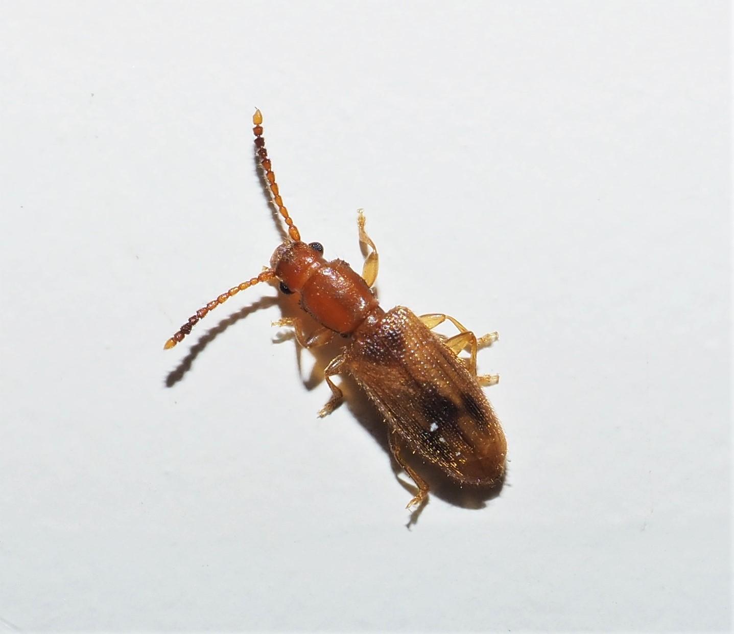 Cryptamorpha desjardinis (Cryptamorpha desjardinis)
