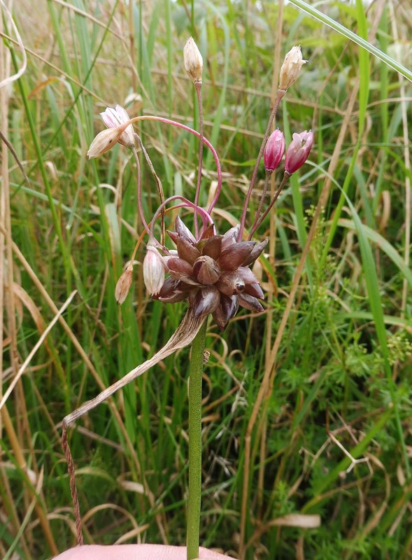 Vild Løg (Allium oleraceum)