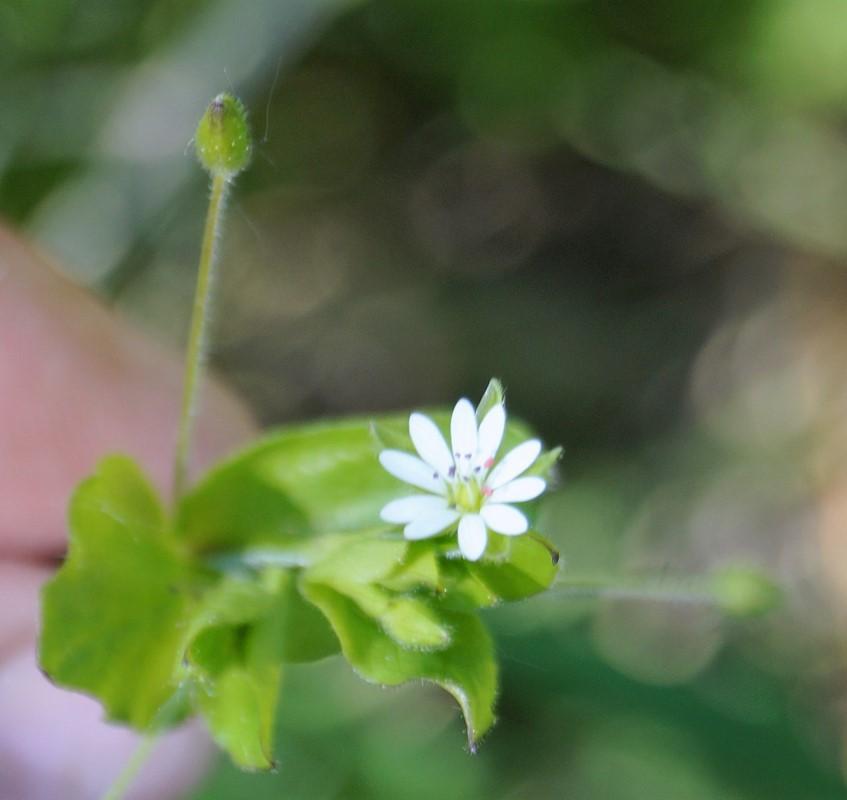 Foto/billede af Skov-Fuglegræs (Stellaria neglecta)