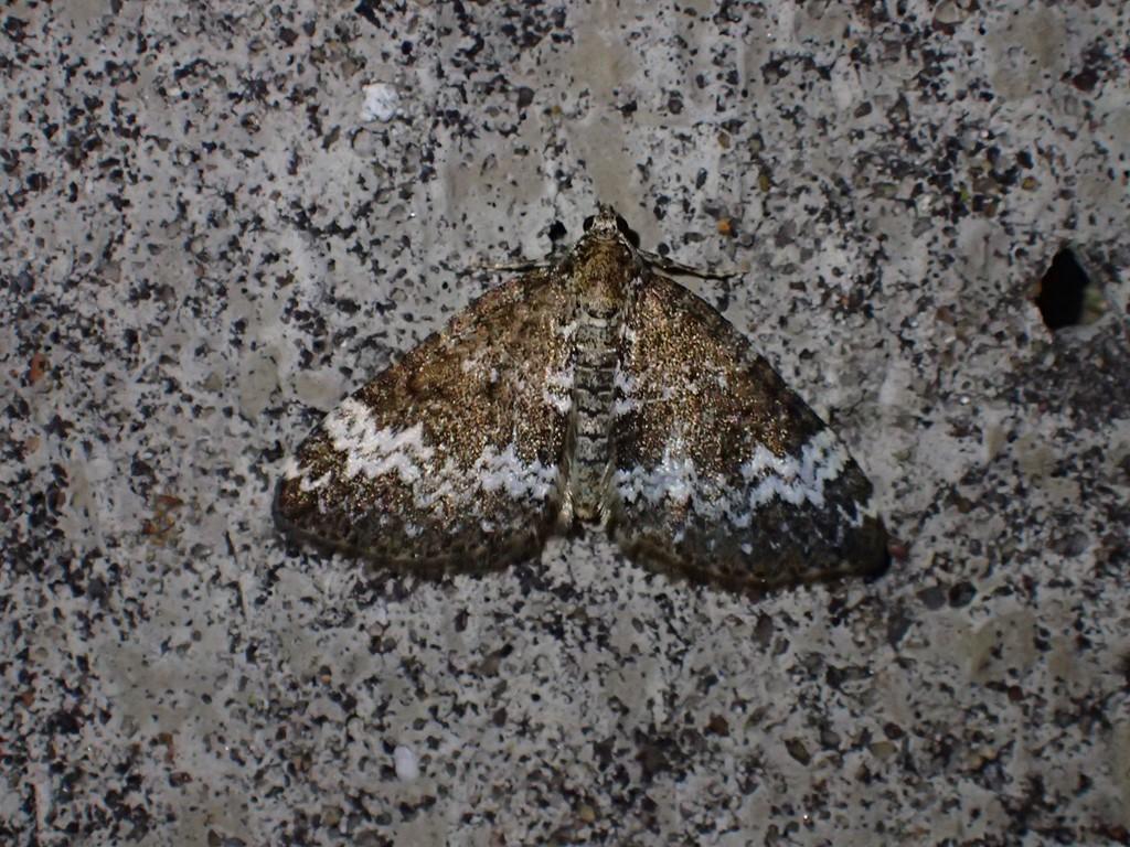 Døvnælde-Bladmåler (Perizoma alchemillata)