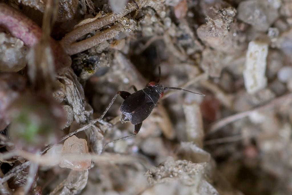 Foto/billede af Stenurtblomstertæge (Chlamydatus evanescens)