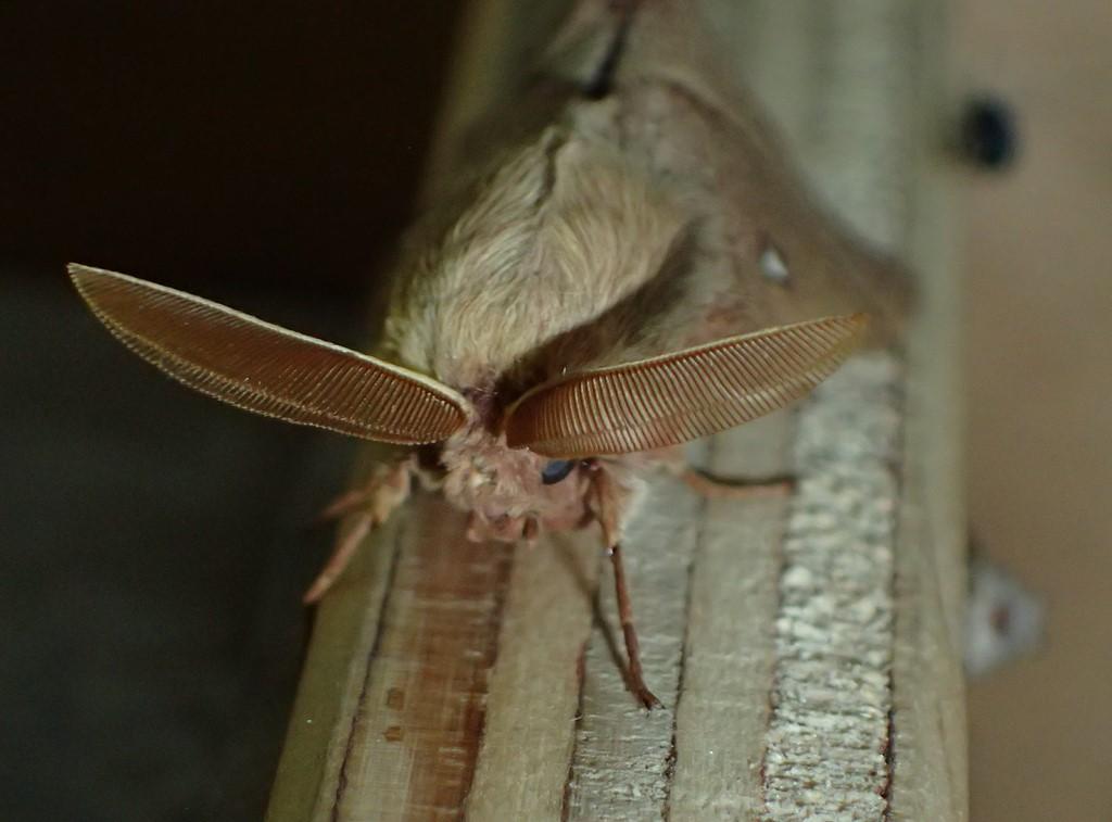 Kløverspinder (Lasiocampa trifolii)