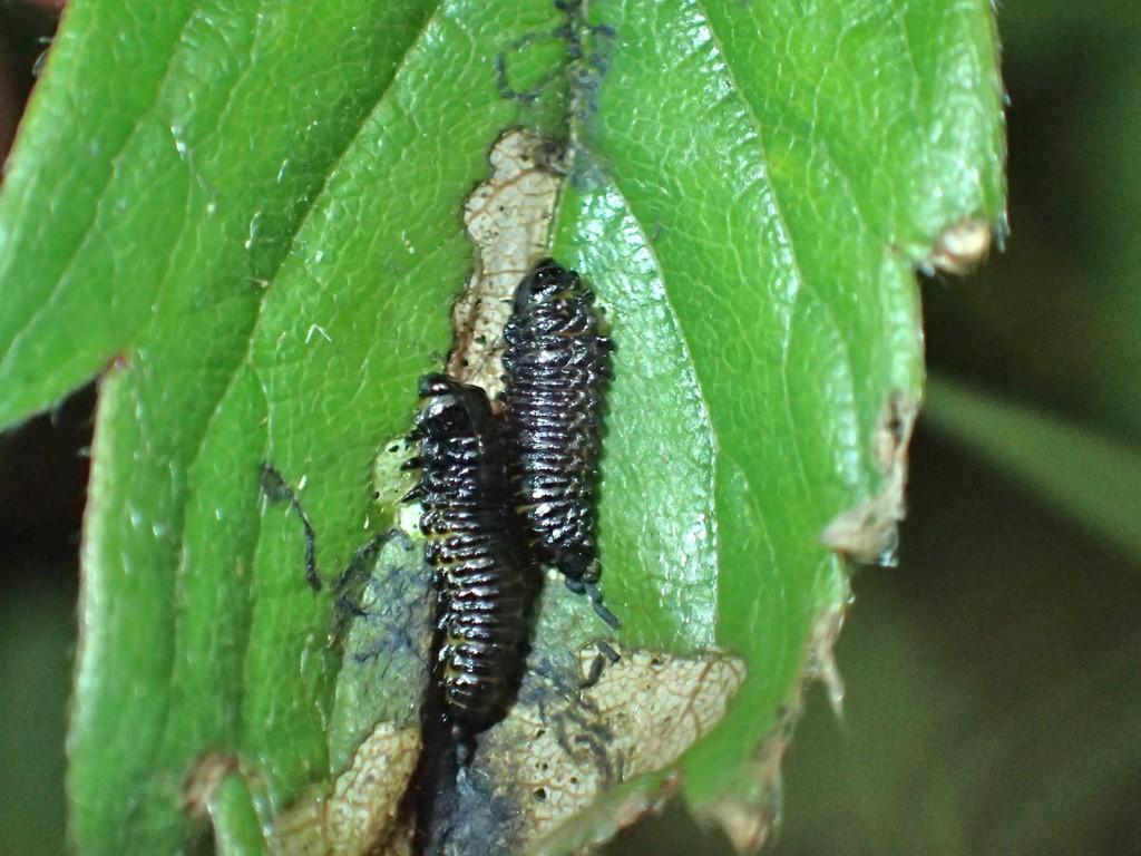 Galerucella aquatica (Galerucella aquatica)