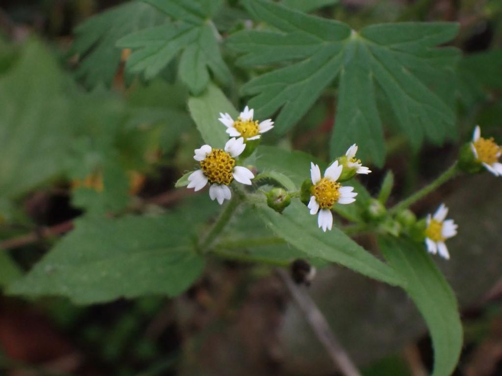 Kirtel-Kortstråle (Galinsoga quadriradiata)