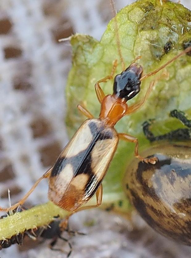 Foto/billede af Smuk Smalløber (Demetrias imperialis)