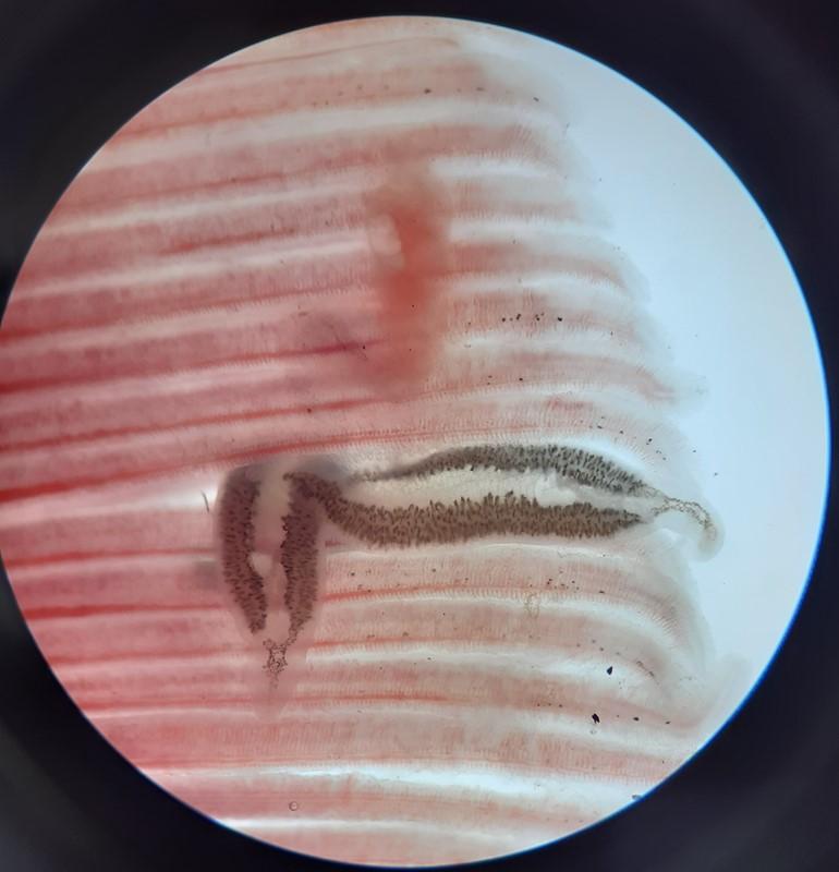 Hornfiskens gælleorm (Axine belones)