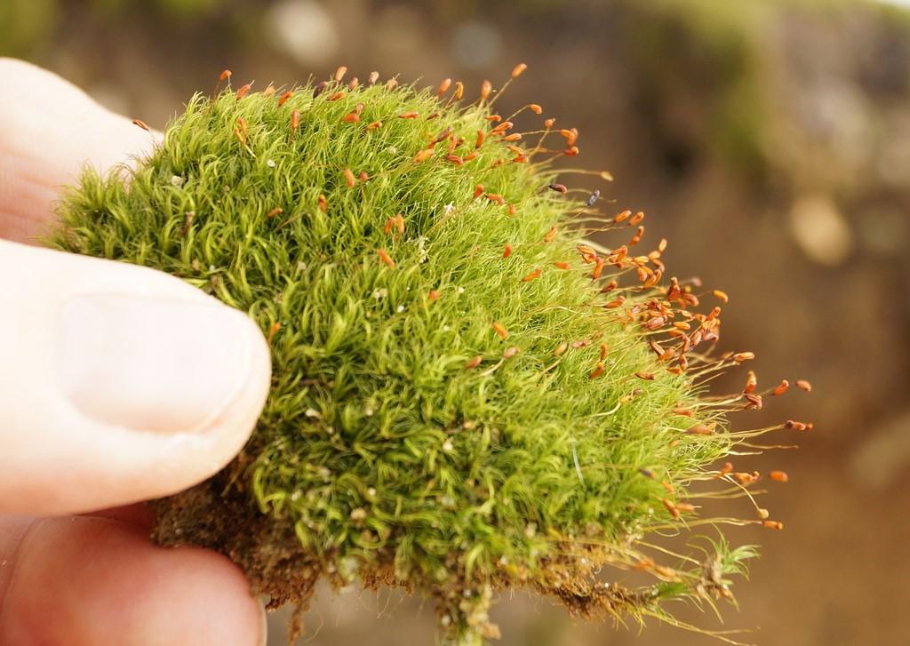 Foto/billede af Almindelig Fløjlsmos (Dicranella heteromalla)