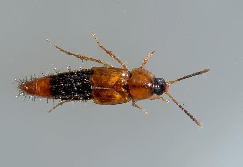 Bolitobius castaneus