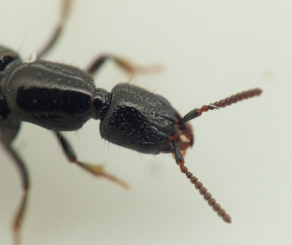 Foto/billede af Gyrohypnus Liebei (Gyrohypnus punctulatus)