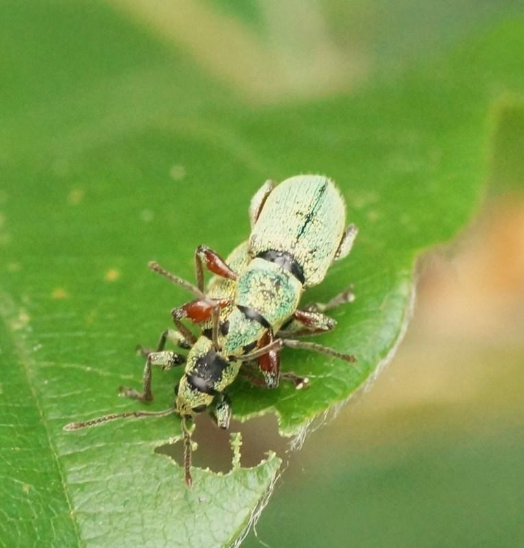 Foto/billede af B�gel�vsnudebille (Phyllobius argentatus)
