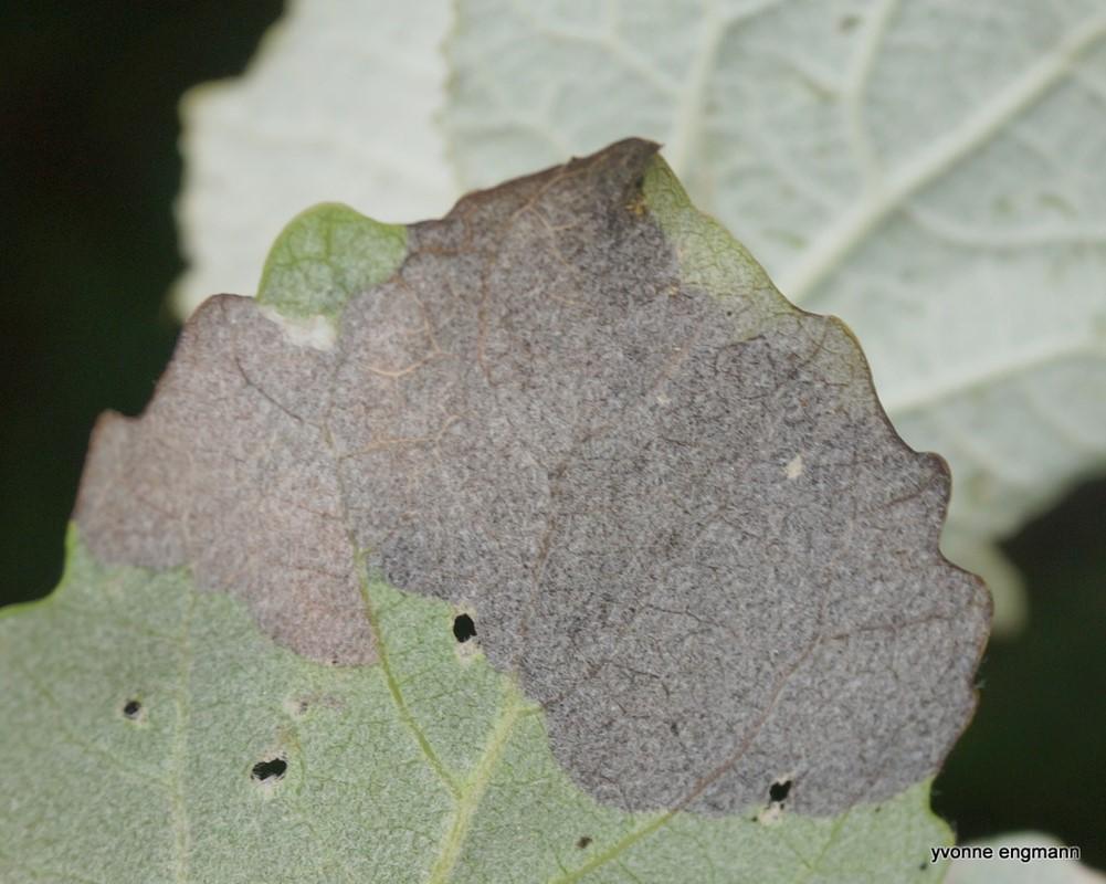Zeugophora sp. (Zeugophora sp.)