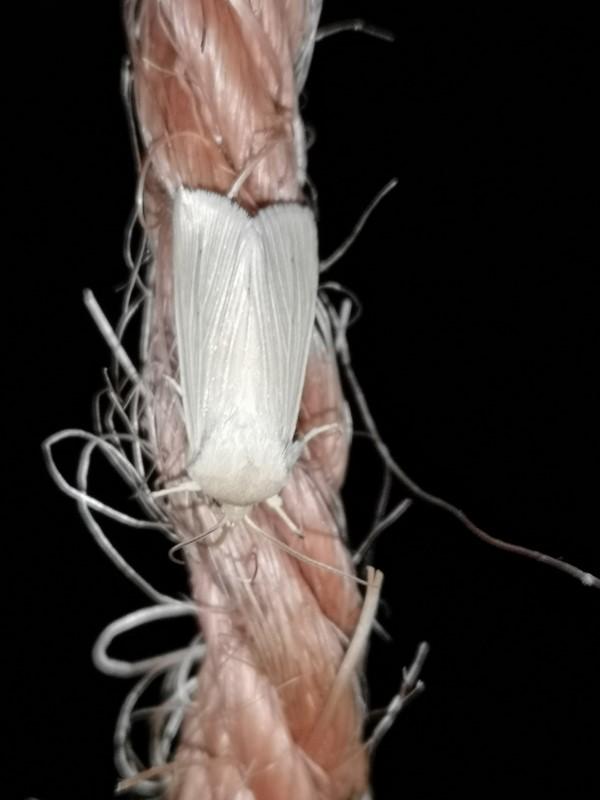 Foto/billede af Snehvid Tigerspinder (Spilosoma urticae)