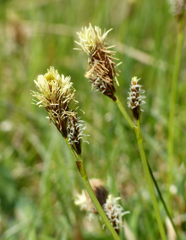 Vår-Star (Carex caryophyllea)